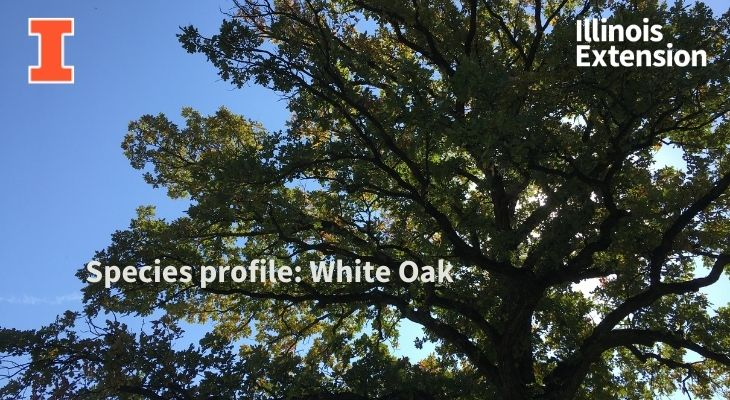 Upper branches of white oak tree
