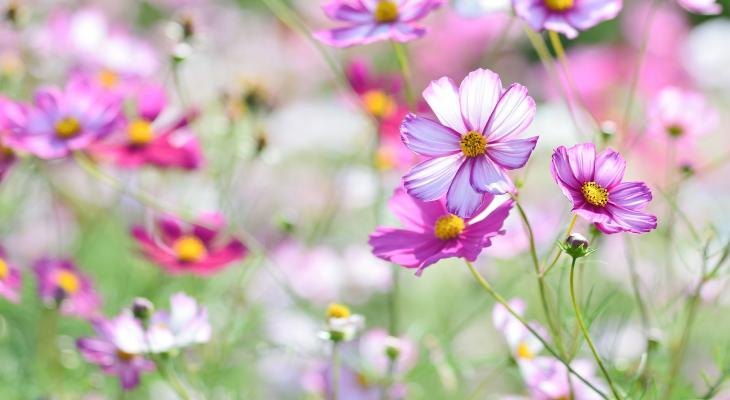 field of pink cosmos