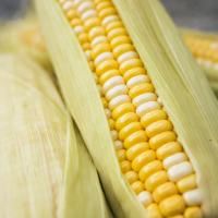 Yellow and white Corn in husks