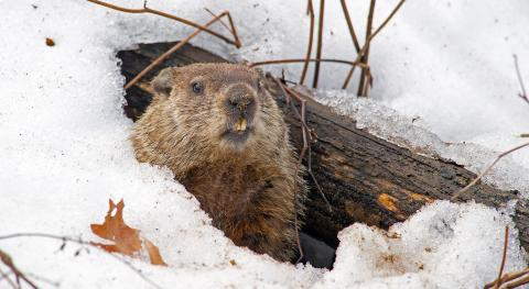 groundhog peers out from snowy den