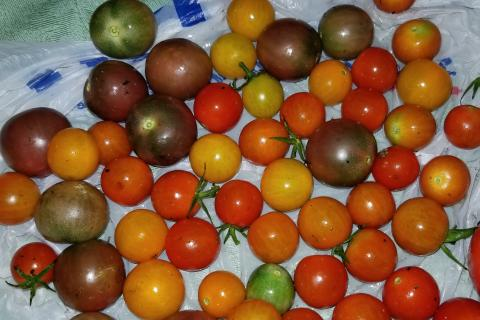photos of tomatoes