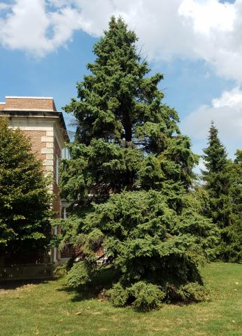 A Colorado Blue Spruce showing with unhealthy gaps between its normally thick branches.