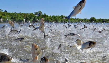 Asian carp fish jumping out of body of water