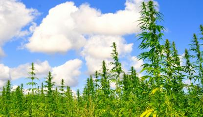 Hemp growing in field