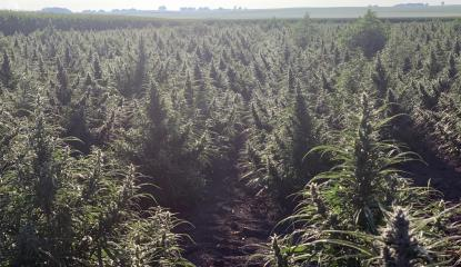 hemp plants in Illinois field